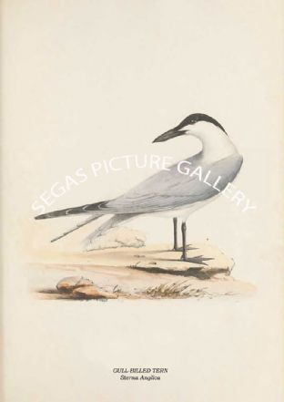 GULL-BILLED TERN - Sterna Anglica
